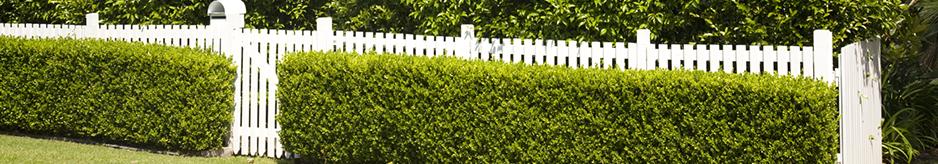 Φυτά κατάλληλα για φράχτες και μπορντούρες