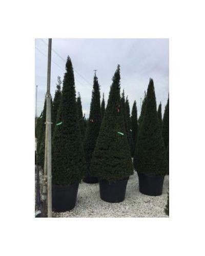 Taxus baccata-clt 180 200/250 cono
