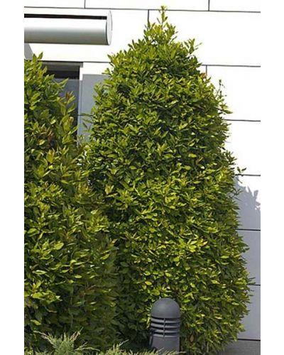 Laurus nobilis-clt 230 400/450