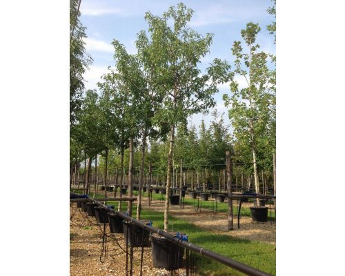 Prunus amygdalus-20/30