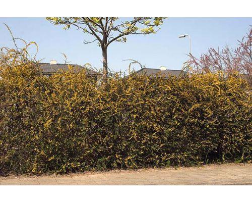 Berberis x stenophylla