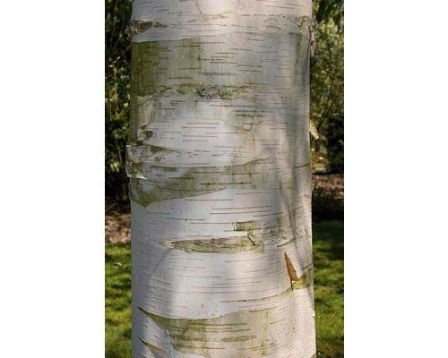 Betula kenaica