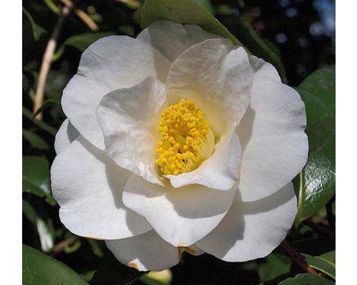 Camellia x williamsi