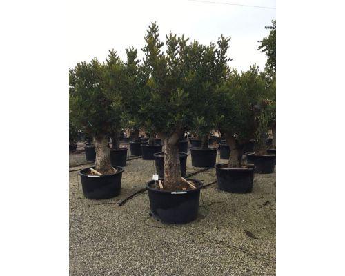 Ceratonia siliqua-50/60