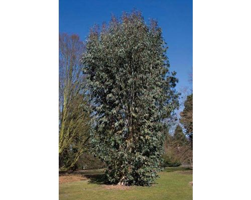 Eucalyptus pauciflora subsp. Debeuzevillei