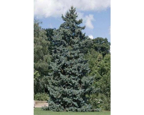 Picea pungens-200/250