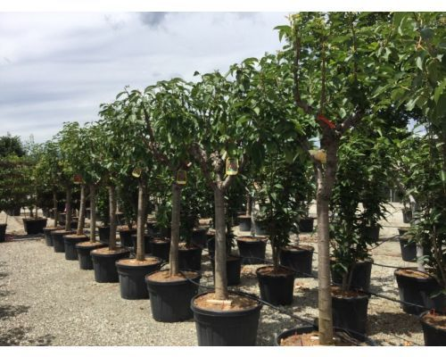 Prunus avium-25/30 M.F.