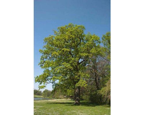 Quercus suber-10/12