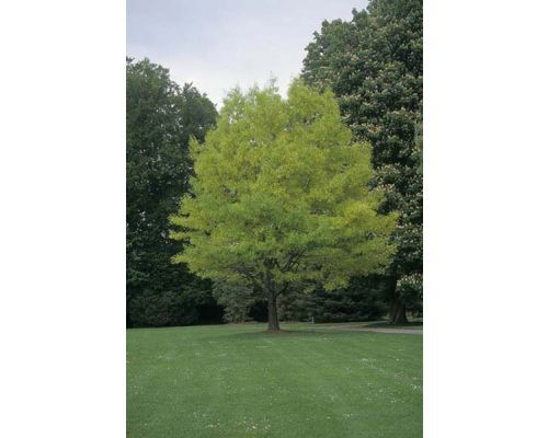 Quercus rubra-12/14