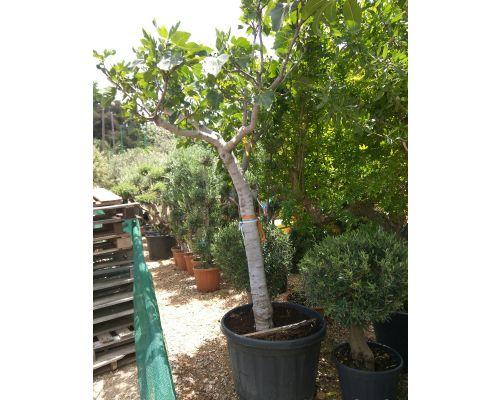 Ficus carica-50lt 1 ball