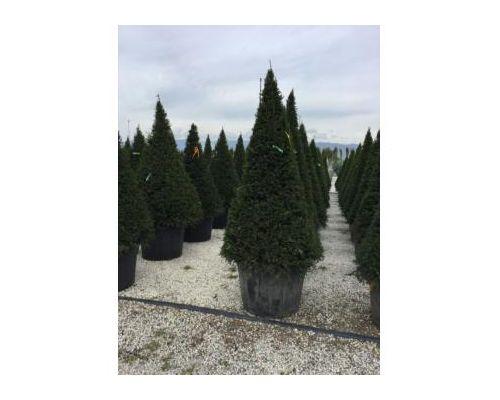 Taxus baccata-clt 160 250/300 cono