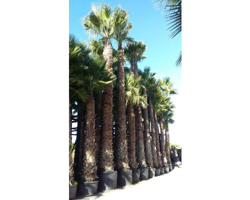 Washingtonia robusta-7m