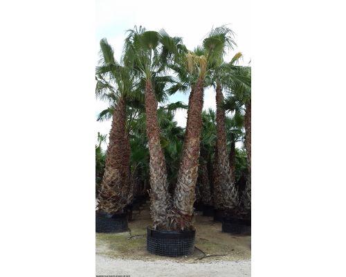 Washingtonia robusta-Διπλή 5m