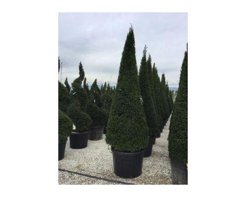 Taxus baccata-clt 285 250/300