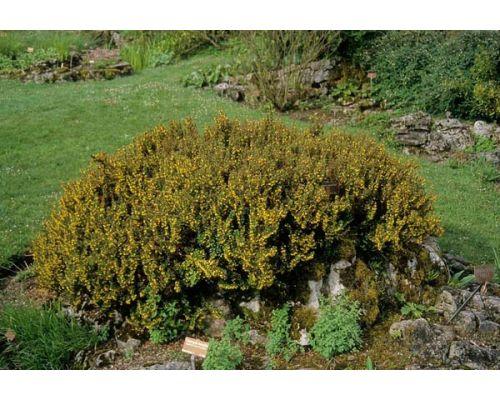 Berberis mucrifolia