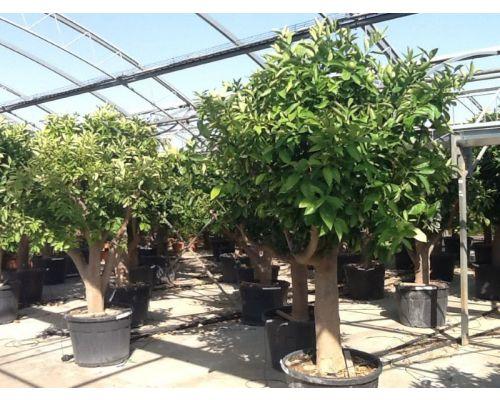 Citrus sinensis-50/60