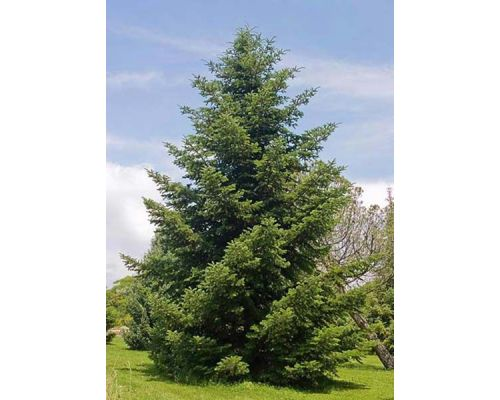 Abies cephalonica-180/200