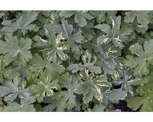Geranium macrorrhizum