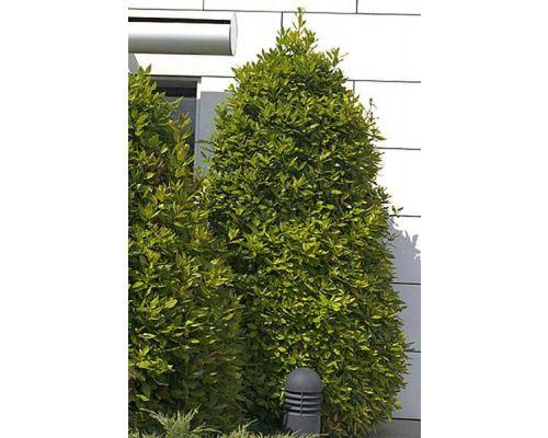 Laurus nobilis-clt 500 250/300 cono extra