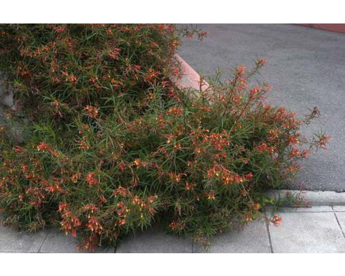 Lobelia laxiflora