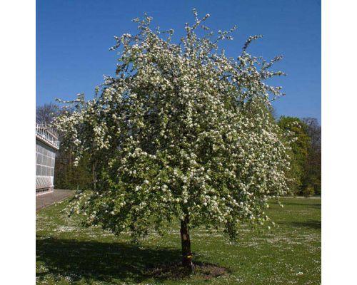 Malus prunifolia