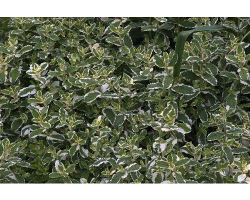 Mentha x gracilis