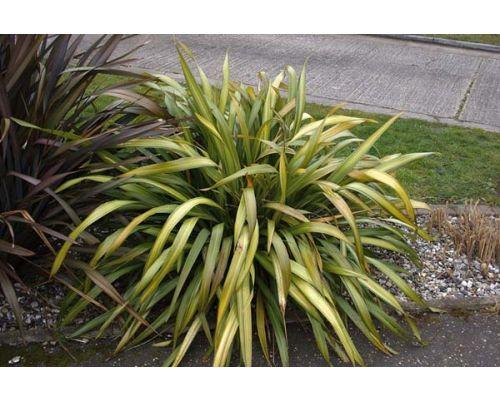 Phormium cookianum subsp. hookeri