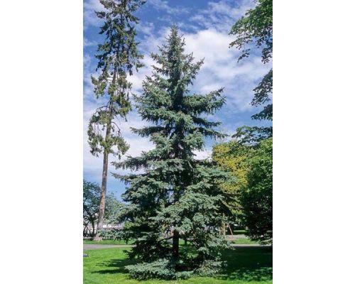 Picea omorika-200/250