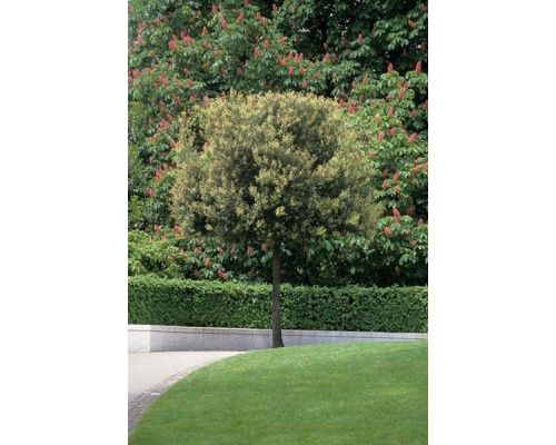 Quercus ilex-24/26 CILINDRO
