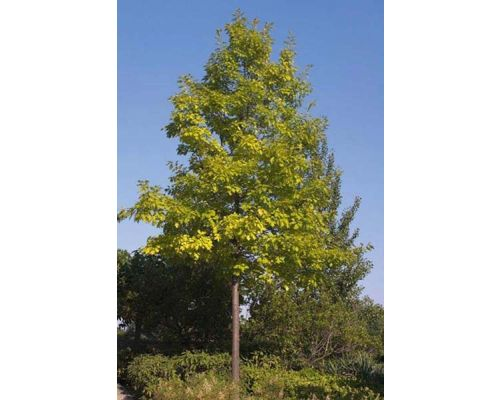Quercus palustris-14/16