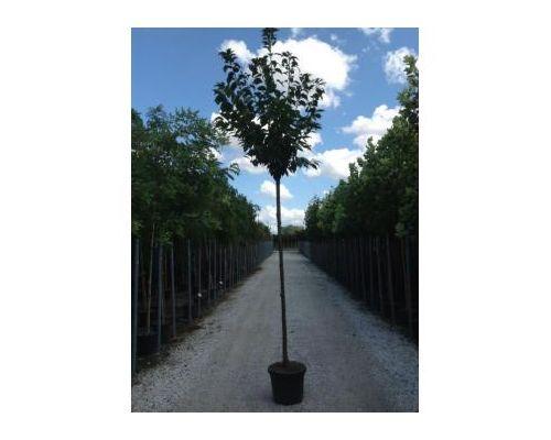 Prunus serrulata-12/14