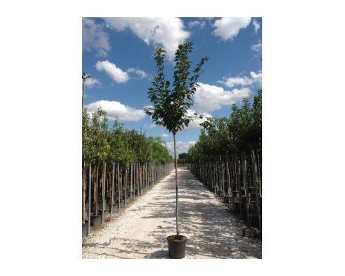 Prunus serrulata-10/12