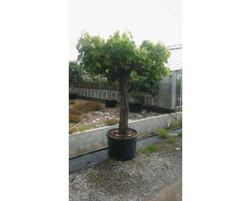 Vitis vinifera-20/30