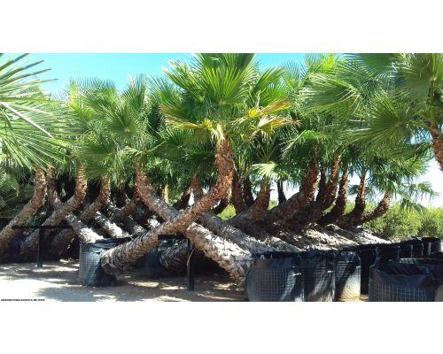Washingtonia robusta-Οριζόντια 4-6m