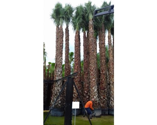 Washingtonia filifera-7m