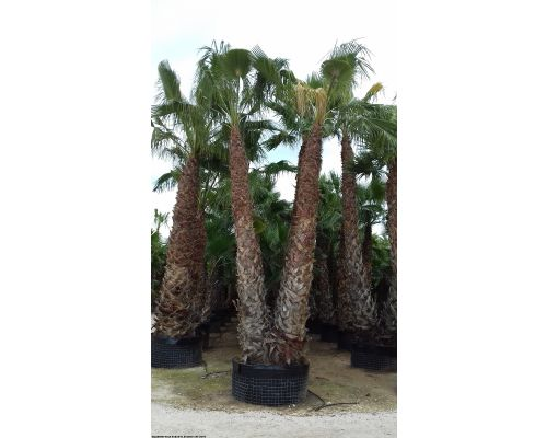 Washingtonia robusta-Διπλή 4m