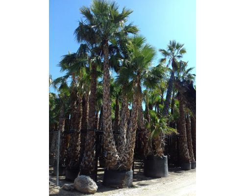 Washingtonia robusta-Τριπλή 4m